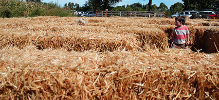 andthenthey apple picking hay maze